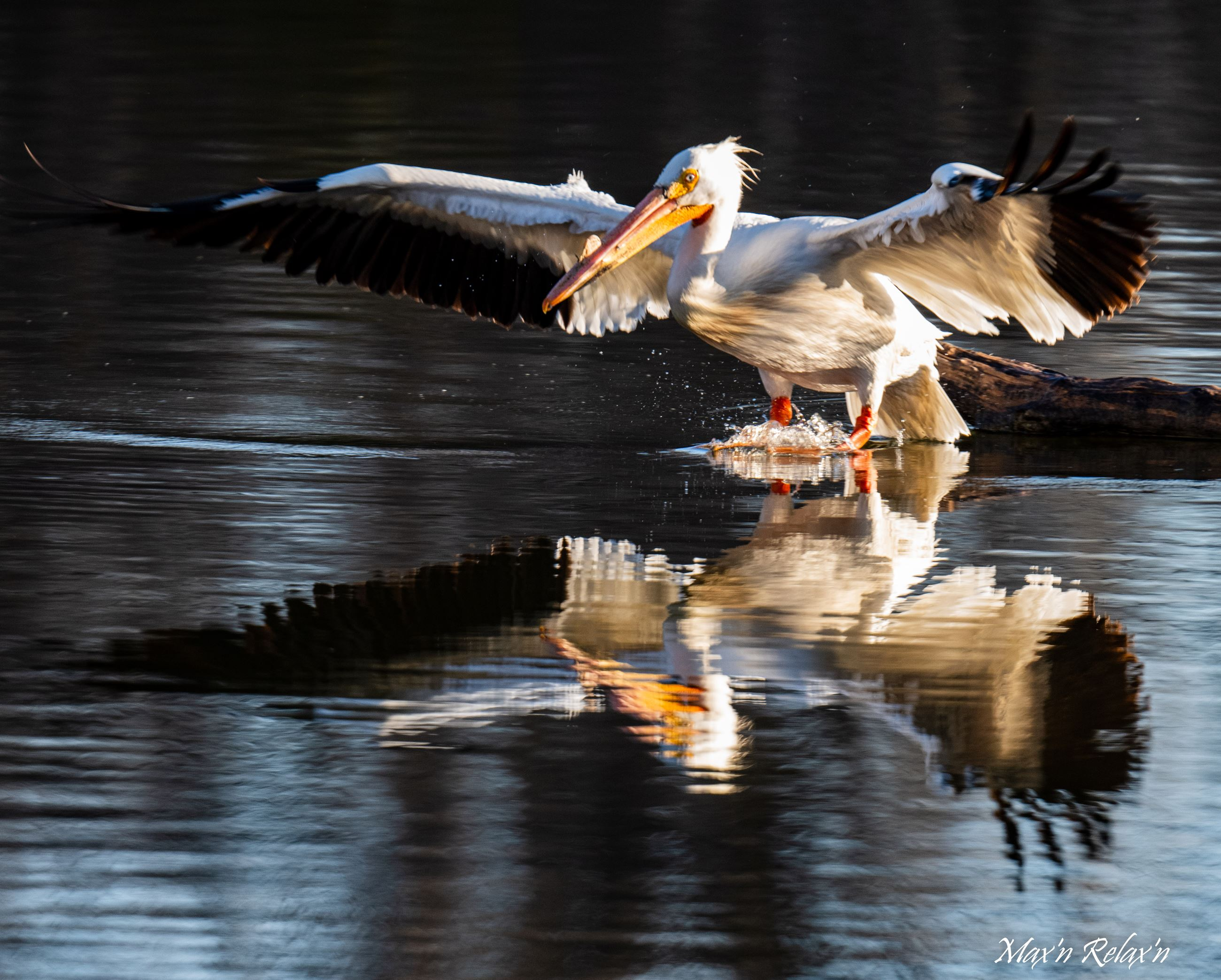 White Pelican plunge Highline Canal-Max Castillo